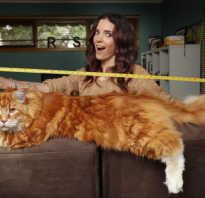 Кошки огромных размеров. О самых больших породах кошек
