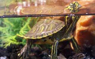 Что едят черепахи? Чем питаются черепахи в природе и домашних условиях