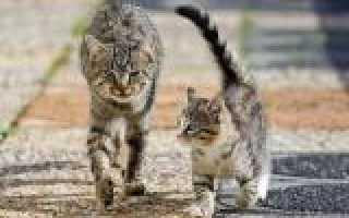 Общение кошек телодвижением. Интересные факты о кошках