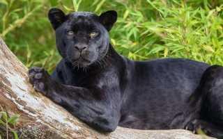 Дикий кот название. Пантера черная кошка