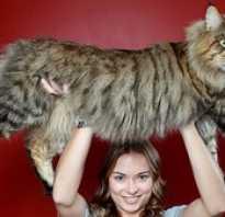Коты великаны. Самые большие коты в мире — какой они породы