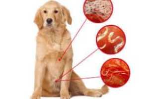 Круглые черви у собак. Первые признаки и симптомы наличия глистов у собаки