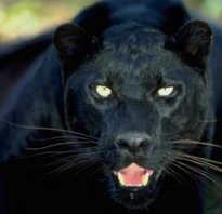 Названия всех диких кошек. Пантера черная кошка