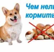 Каким должно быть питание щенка? Чем нельзя кормить собаку
