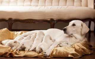 Собака после родов. Кормление собаки после родов