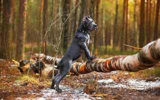 Маленькие бойцовские собаки. Разновидности и описание пород бойцовских собак