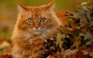Рыжие коты и особенности их характера. Какие тайны скрывают рыжие люди