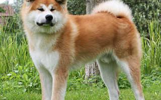 Самый красивый пес в мире. Самая красивая собака в мире