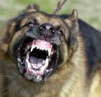 Самая добрая бойцовская собака. Самые опасные собаки в мире