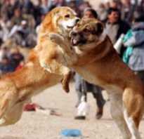 Лучшие породы для боев. Бойцовские породы собак