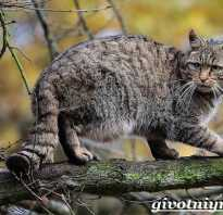 Где обитает дикая кошка. Домашние дикие кошки, фото