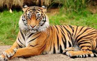 Самый хищный кот. Самые большие кошки в мире