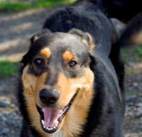 Как вылечить воспаление десен у собаки. Лечение гингивита у собак