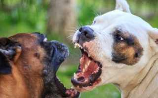 Самая сильная бойцовая собака. Боевые породы собак: обзор и описание