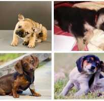 Как избавиться от блох у щенка