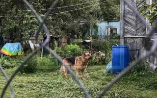 Иксодовые клещи у собак. Клещи у собаки: виды и симптомы